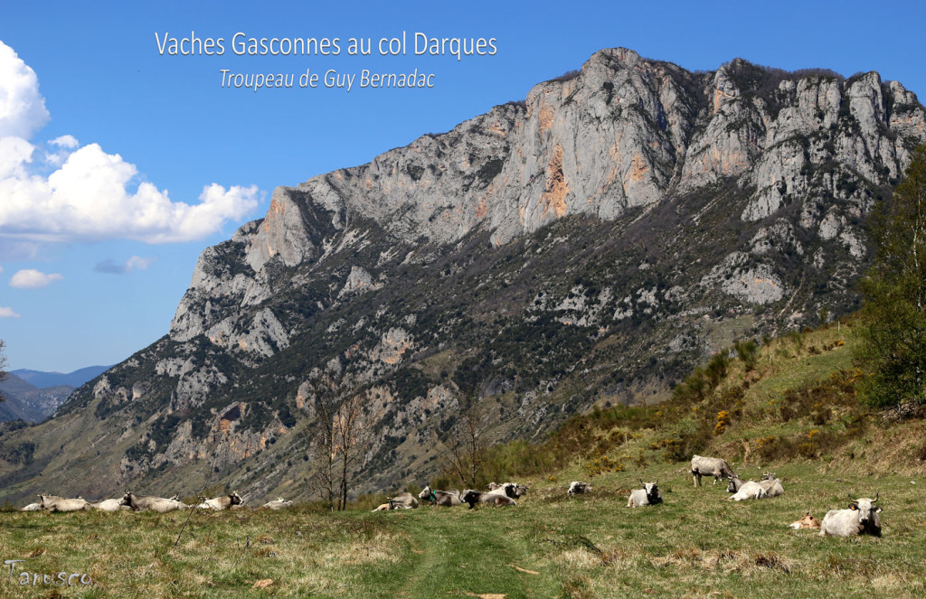 Vaches-Gasconnes